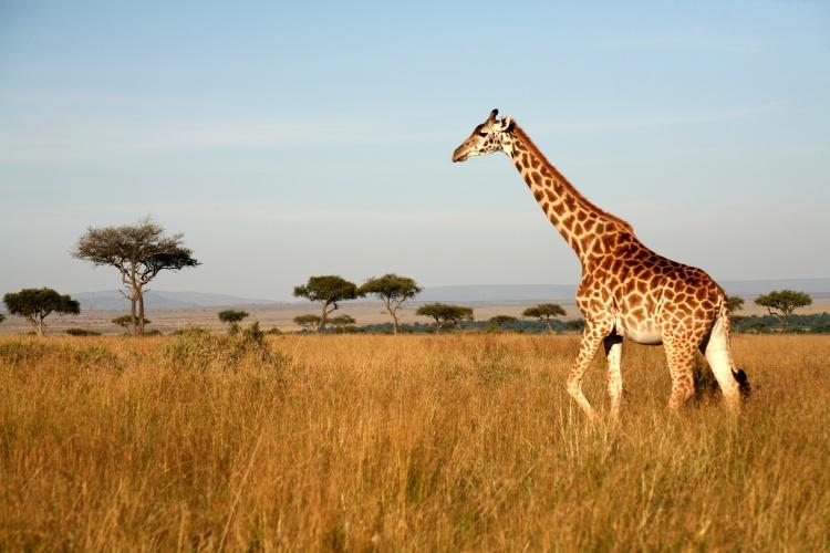 Kenya - Giraffe