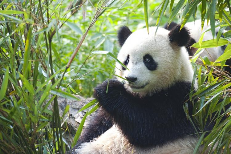 China - Panda